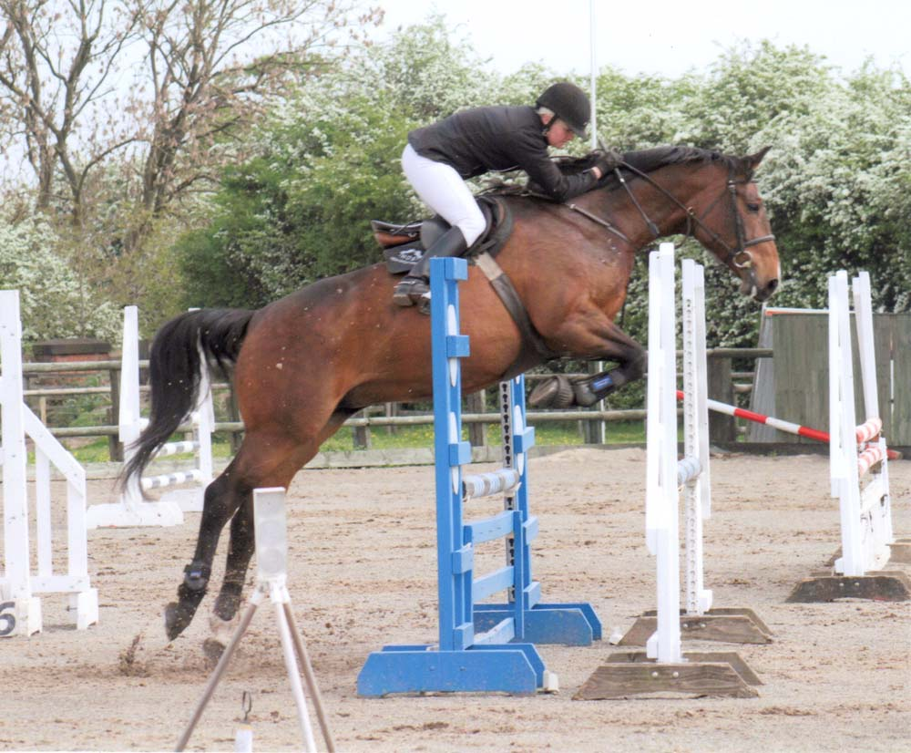 Showjumper For Sale