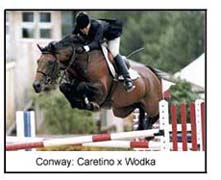 International Showjumper Stallion Conway