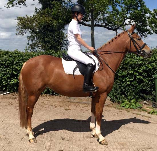 4 year old horse for sale