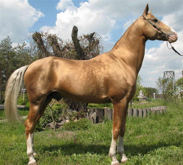 Akhal Teke