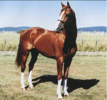 Scotish Dressage Stallion