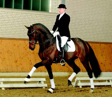 Advanced Dressage Stallion