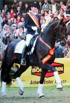 Dutch Dressage Stallion