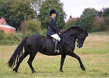 Cob Horses For Sale