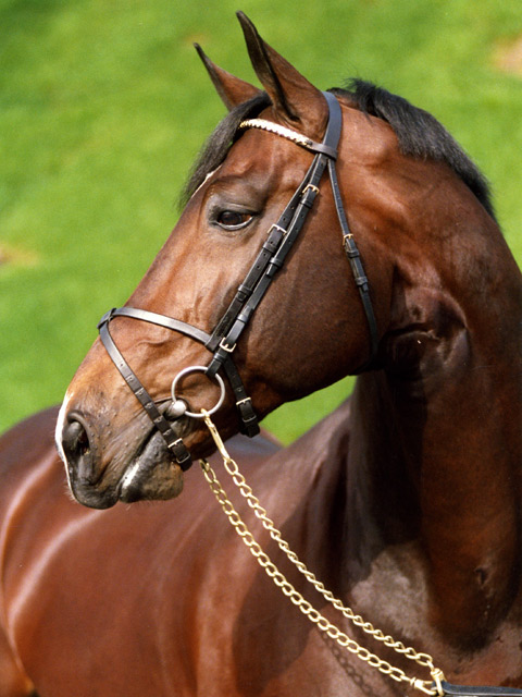 Darco - Breeding Stallion