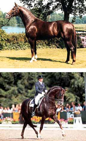 Legendary Dressage Stallion