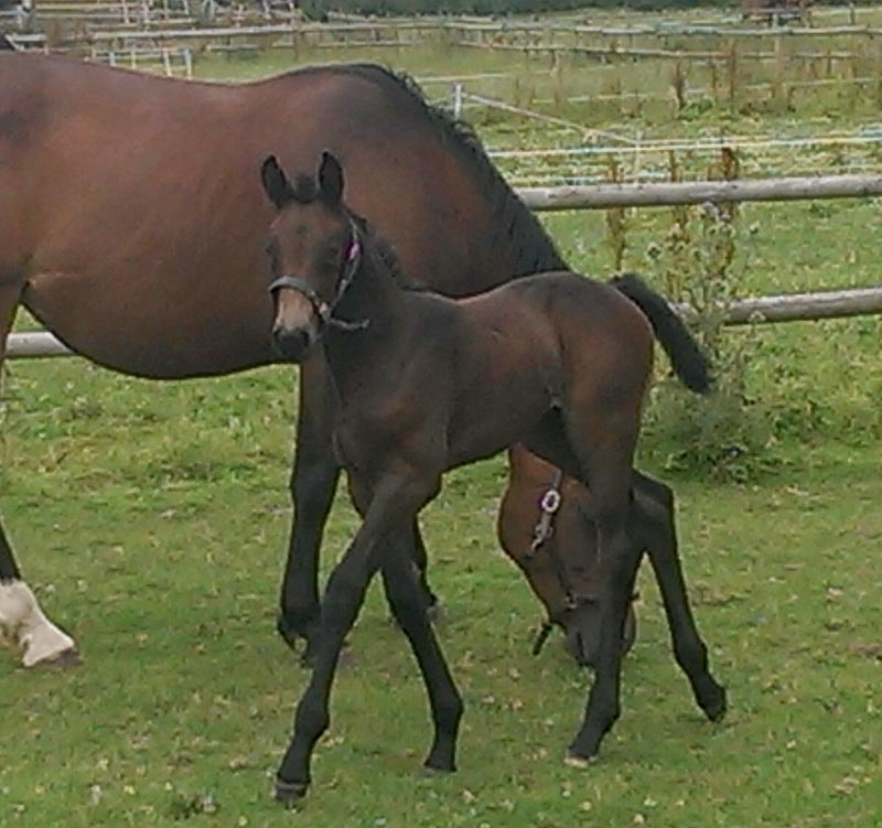 Warmblood Foals For Sale