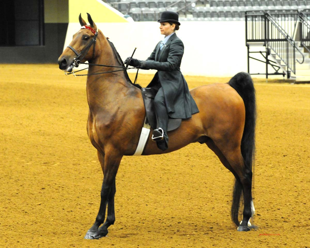 Saddlebred Horses For Sale