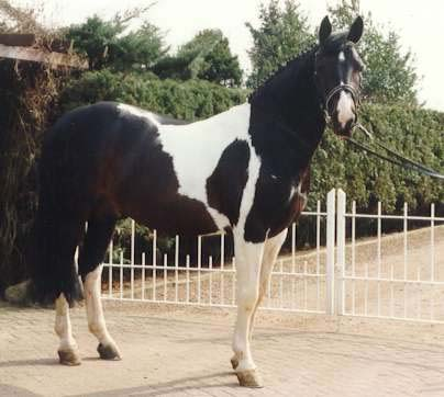 Samber -  Coloured Stallion