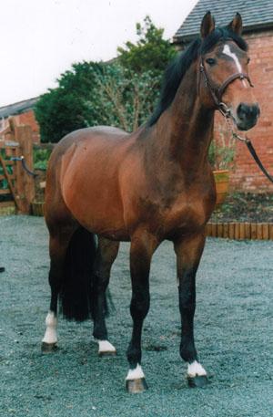 Selle Francais Horse