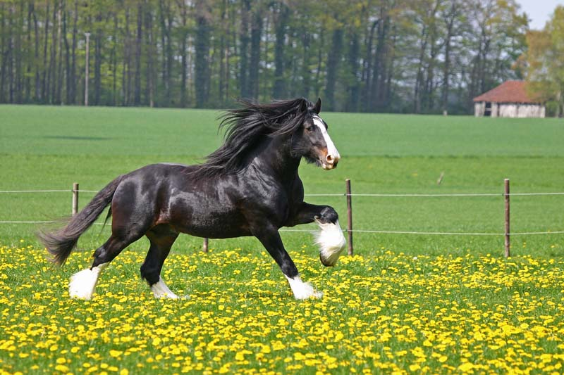 http://www.highoffleystud.co.uk/images/Shire-Horses.jpg