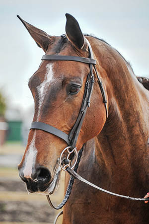 Arturo`s Whisker - Working Hunter Brood Mare