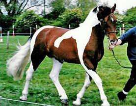 Skewbald Horses For Sale