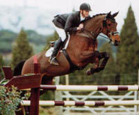 Warmblood Horse