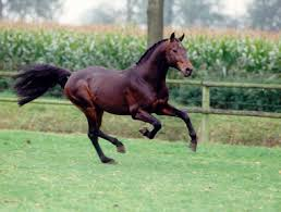 Stallion Libero H